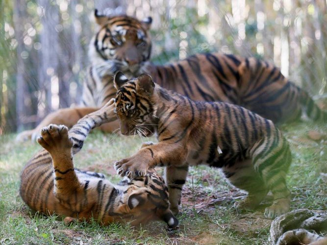 Cold has no benumbing effect on tiger number counters