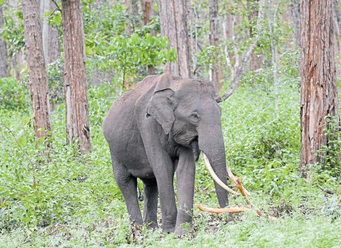 Teen trampled to death by lone tusker in Hassan