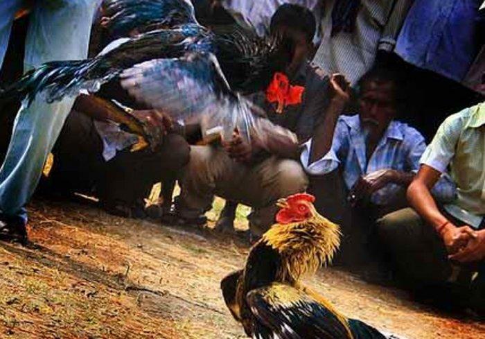 Cockfights organized in coastal AP in big way