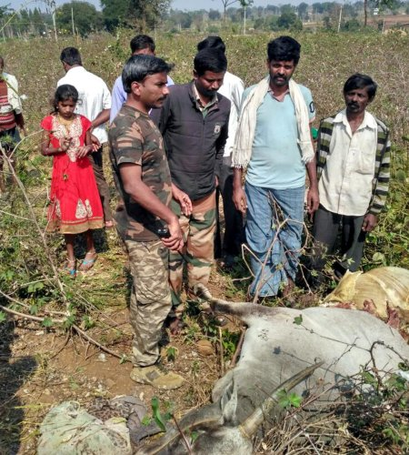 Villagers in fear after cattle killed in suspected tiger attack