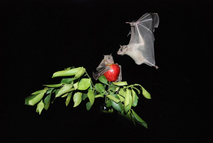 'Bat-nav' reveals how the brain tracks other animals