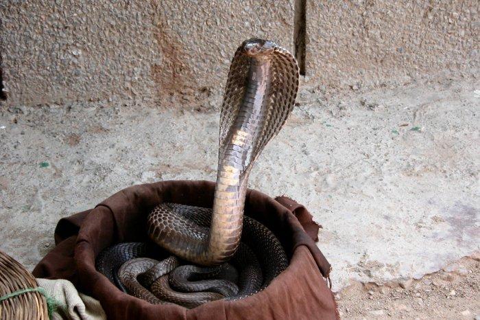 Poaching puts snakes at risk