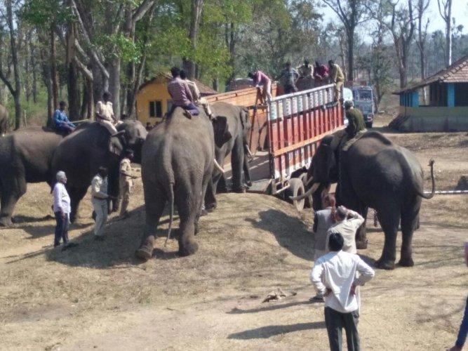 Three tamed elephants leave Dubare camp for Chhattisgarh