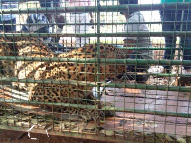 Forest dept. captures leopard in Shravanabelagola