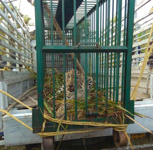 Leopard cub trapped