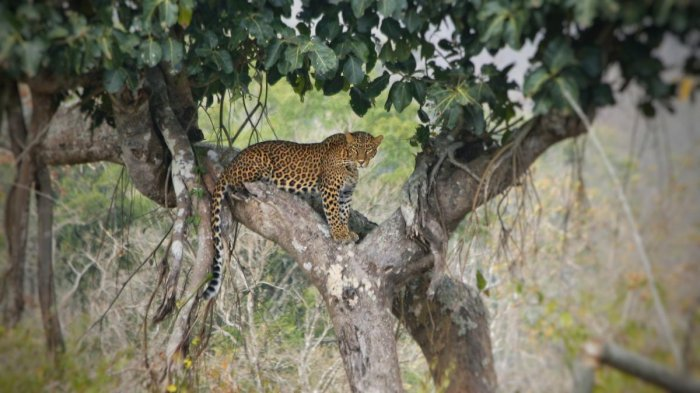 BBP to open India's first dedicated leopard safari