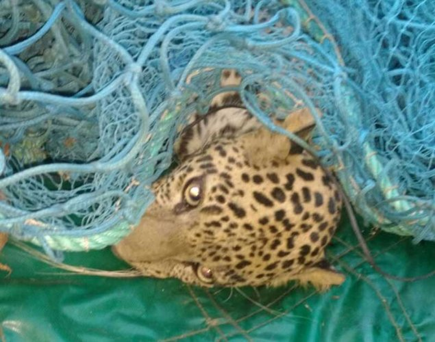 Forest staff capture stray leopard