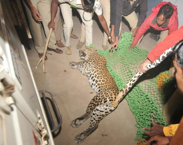 Leopard rescued from plantain godown