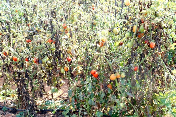 Tomatoes allowed to rot in plant as price for crop dives