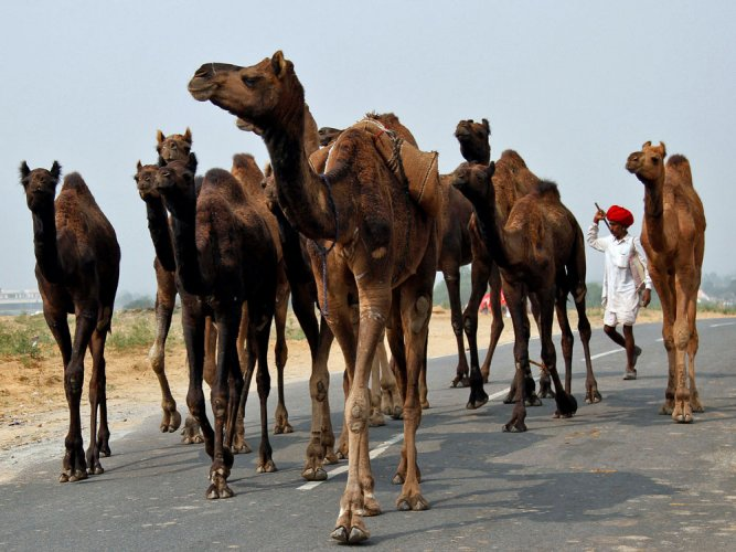 Stories on camels to be taught in Rajasthan schools