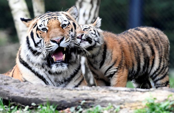NTCA to reintroduce tigers in 3 reserves