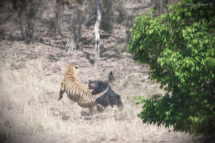 Rare video of Tiger vs Sloth Bear goes viral