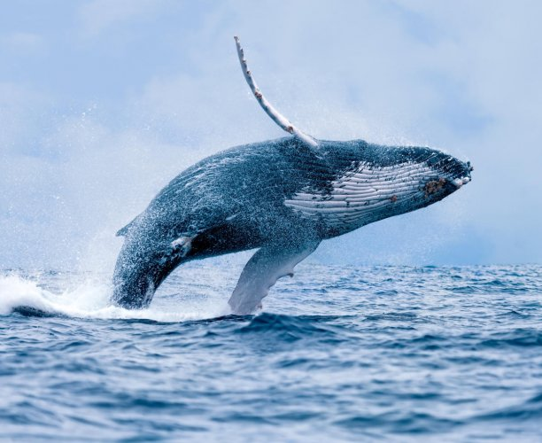 The adventurous voyages of whales
