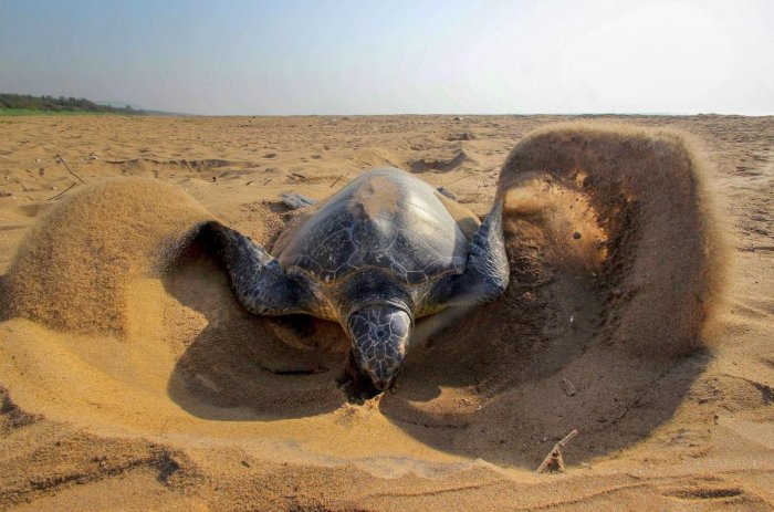Olive Ridley Turtles damage eggs at nesting ground