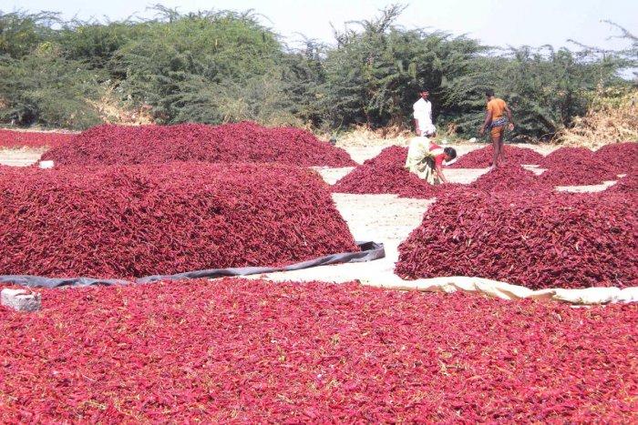 Chilli growers in Kurugodu taluk in trouble