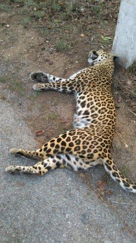 Leopard run over by car