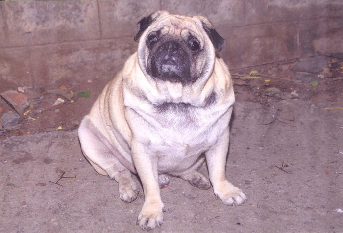 Munna, the pug who stole our hearts