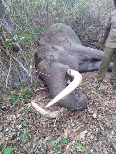 Tusker gores fellow jumbo to death