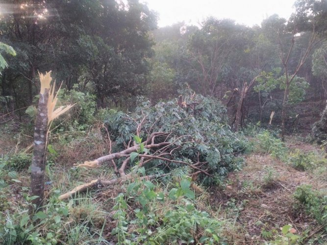 Gusty winds damage arecanut, rubber trees