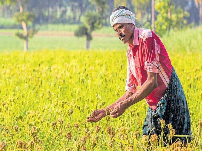 "The Centre has declared millets, a popular food in many parts of Karnataka, as ""Nutri-Cereals"", hoping that the classification would pave the way for a rise in the production, consumption and trade of several varieties of the nutritionally rich cereals. DH File photo"