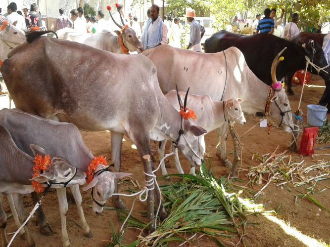 While the slaughter of cows is banned in most states, the 2017 rules banned the trade of all cattle, including bulls, buffaloes and camels in animal markets, if these were meant for slaughter. (DH file photo)