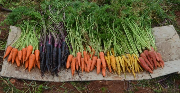 Four different types of carrots grown by a farmer couple in Anekal taluk. Photos by G Krishnaprasad