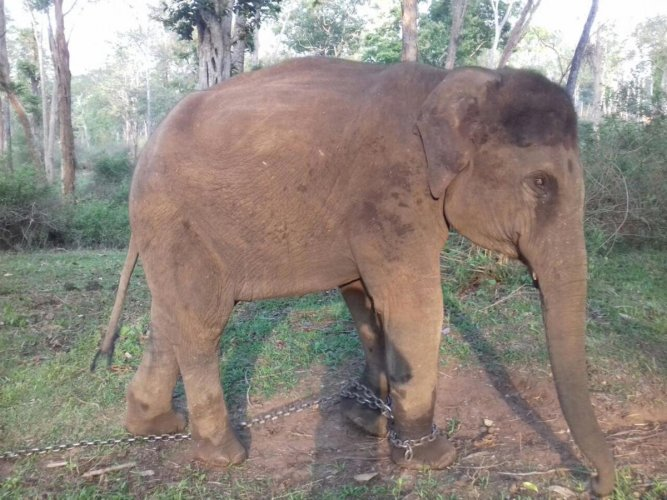 One of the elephants that was sent to Dudhwa Tiger Reserve in Uttar Pradesh.