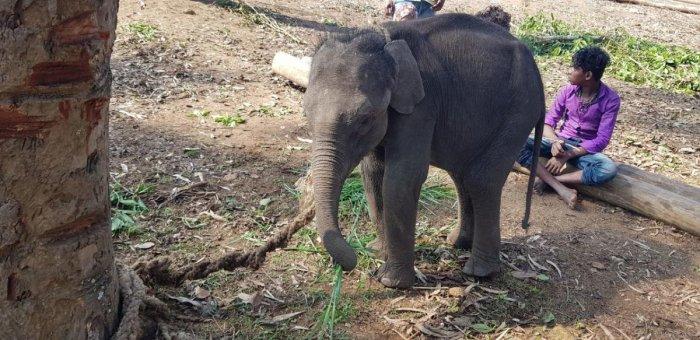 An Elephant calf at Dubare elephant camp.
