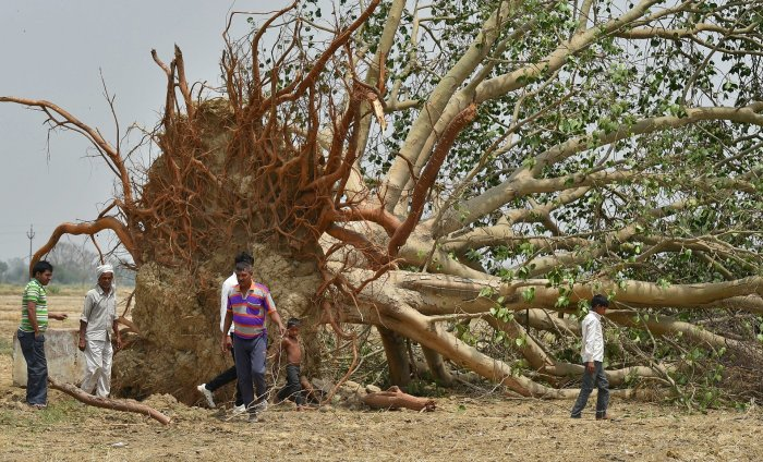 Villagers near a peepal tree uprooted in Wednesday's massive storm, at Cheet village in Agra district on Friday. PTI