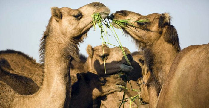 Camels are an important component of the fragile desert ecosystem.