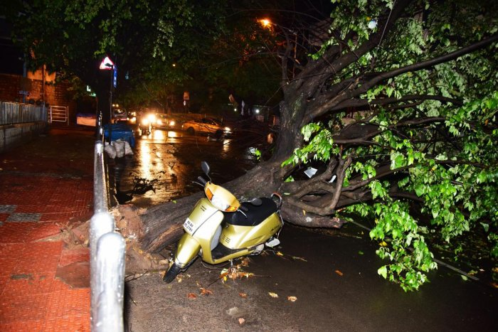 An uprooted tree in Vyalikaval after the rain.