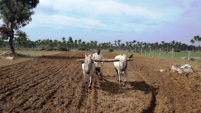 A farmer engage in levelling the land for sowing in Kadur.