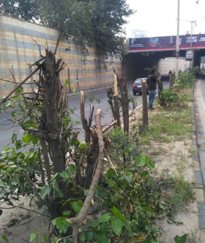 The mutilated trees near ORR in Marathahalli, Vijay Nishanth applying bandage and fungicide the trees.