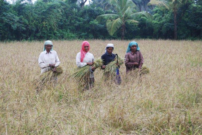 Farmers work on field in Chittur in Palakkad in Kerala.