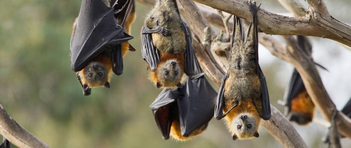 Bats are carriers of the Nipah virus and can spread the infection through the fruits they bite into.