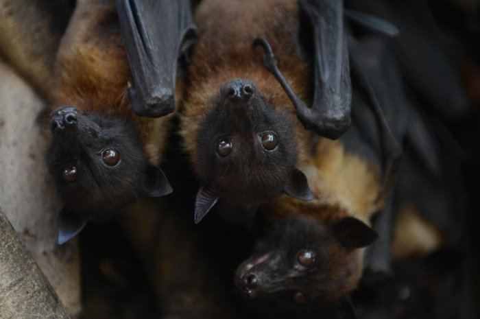 In this file photo taken on April 29, 2018 Indian bats cling onto the branches of a banyan tree on the campus of Gujarat College in Ahmedabad. A virus mainly carried by fruit bats which has spread across Asian nations has killed at least three peo