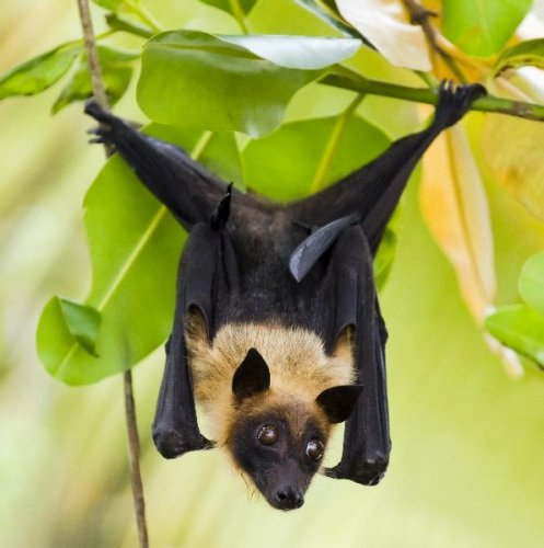 with the rise in the number of nipah virus niv cases in kerala chiropterologists who study bats have advised people to be cautious while consuming - Bat Image