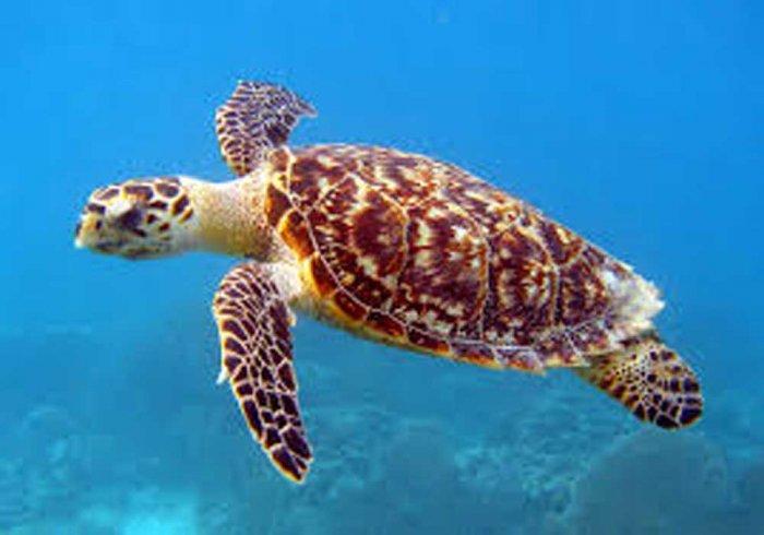 Turtle. Image courtesy Wiki commons