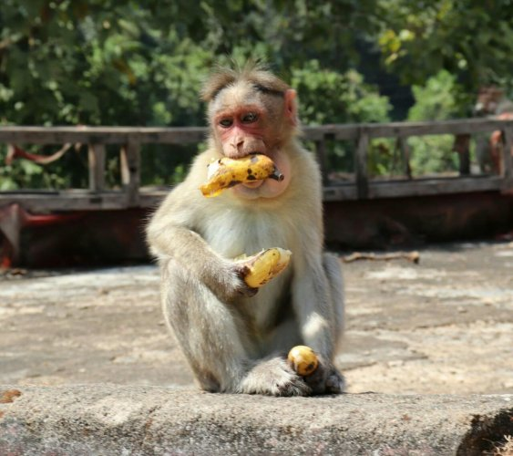 The bench noted that even the Delhi government and a committee set up on court orders to develop an action plan to control the simian population have not taken any steps. DH file photo