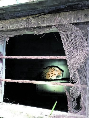 The wild cat seen trapped in the storeroom of a raw silk godown in Bellikothanur in the outskirts of Kanakapura town.