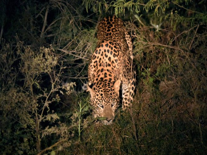 A leopard attacked and injured a man in Ramanagaram district on Saturday. PTI file photo for representation only