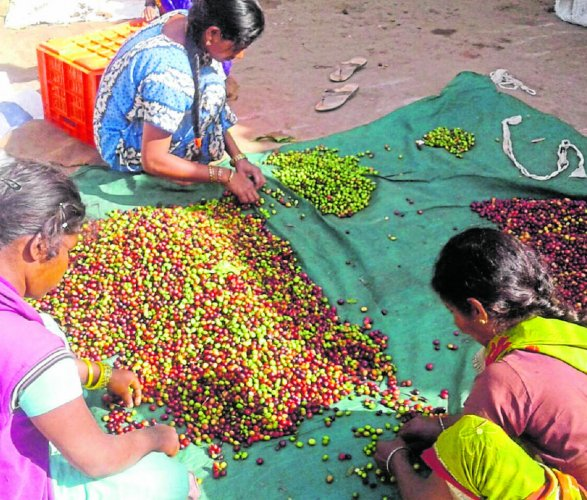 Soliga coffee growers of BR Hills engaged in post-harvesting activities