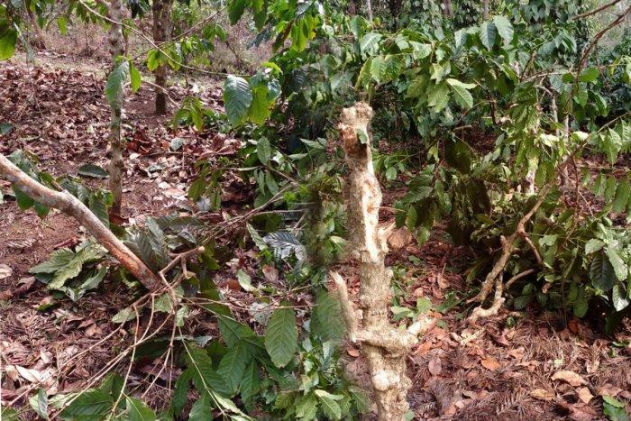Wild elephants have destroyed coffee plants in a plantation near Suntikoppa, Kodagu district, on Wednesday night.