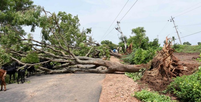 A huge tree was uprooted on the Dharwad-Yadwad road at Uppinbetageri in Dharwad taluk following heavy rain on Friday night. DH Photo
