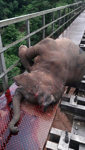 The wild elephant which was run over by a goods train on Sakleshpur-Subramanya road.