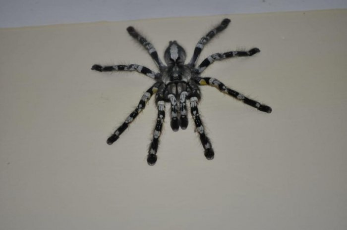 The Indian Ornamental Tarantula rescued from the Visvesvaraya Industrial and Technological Museum on Wednesday.