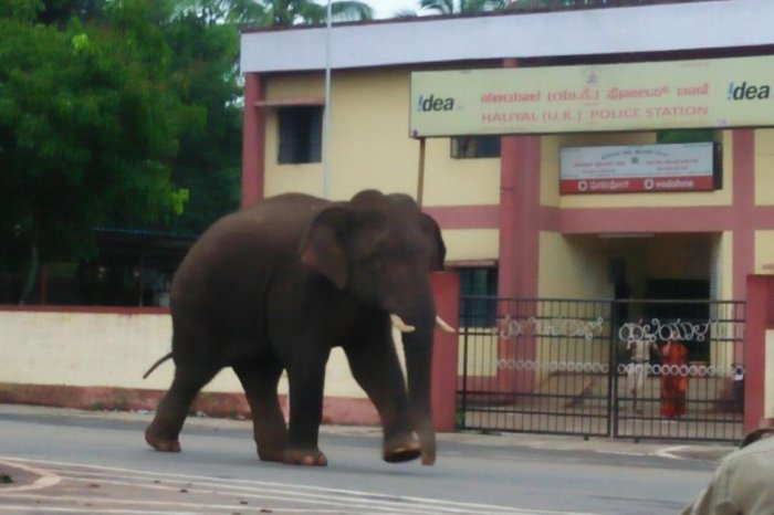 A wild jumbo strayed into Haliyal town in Uttara Kannada district in the wee hours of Friday.