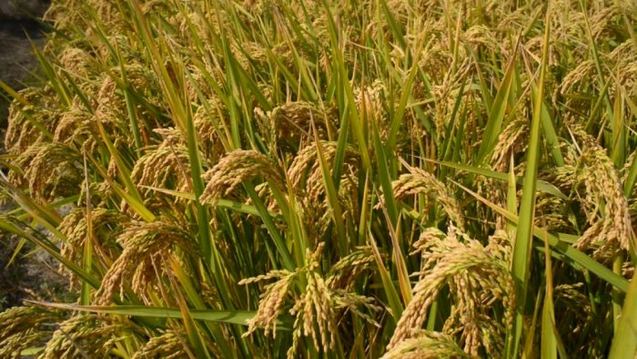 Farmers in Dakshina Kannada and the Malnad region have been demanding a better package for paddy.