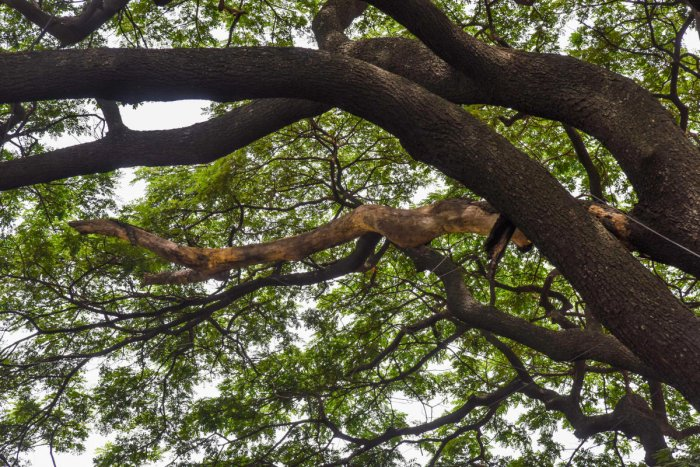 Branches are seen drying up near the Halasuru Gate policestation. DH PHOTO/S K DINESH