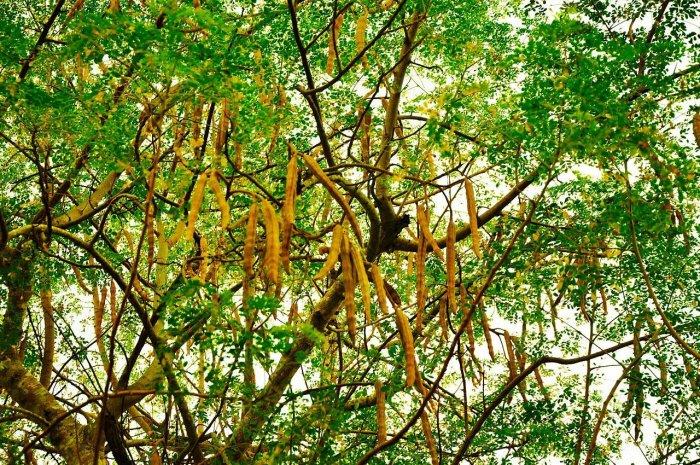Moringa oleifera plant. Source: Wikicommons.